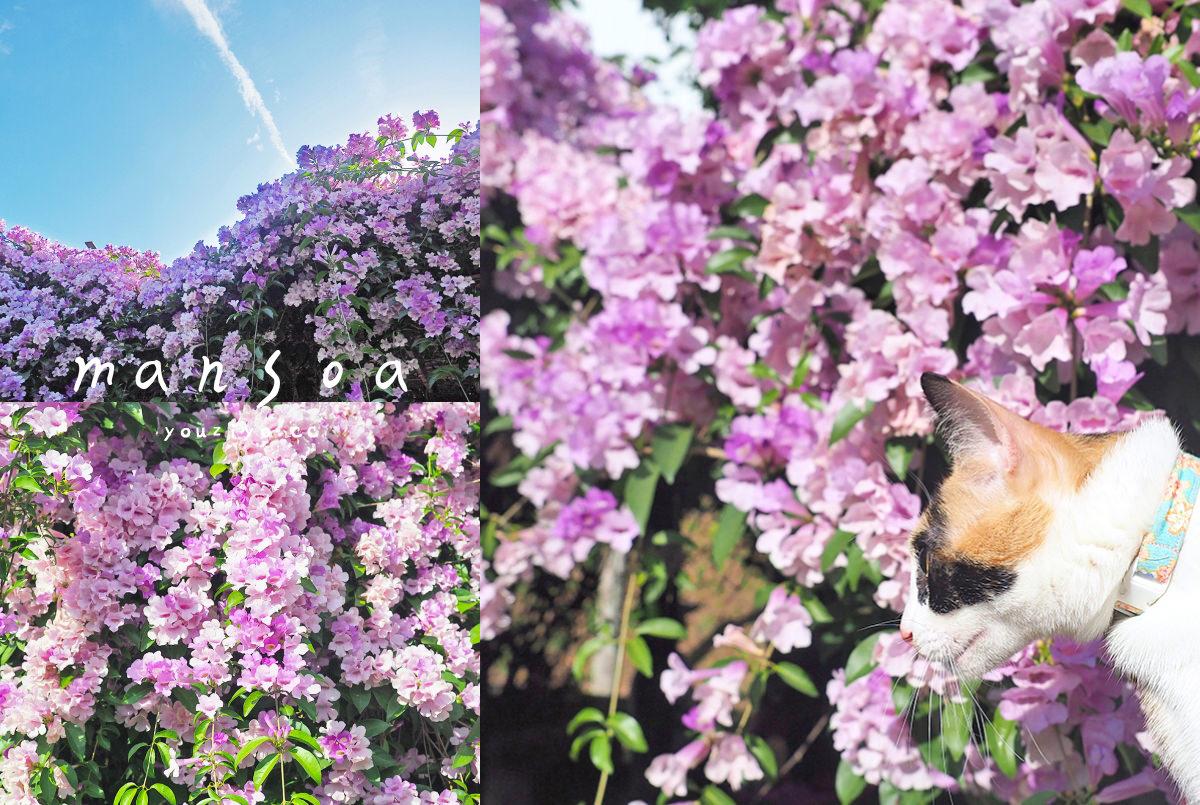 期間限定紫色瀑布!泰山楓樹河濱公園 蒜香藤浪漫盛開中